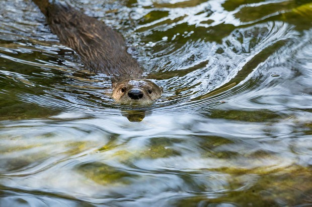 Otter in a river