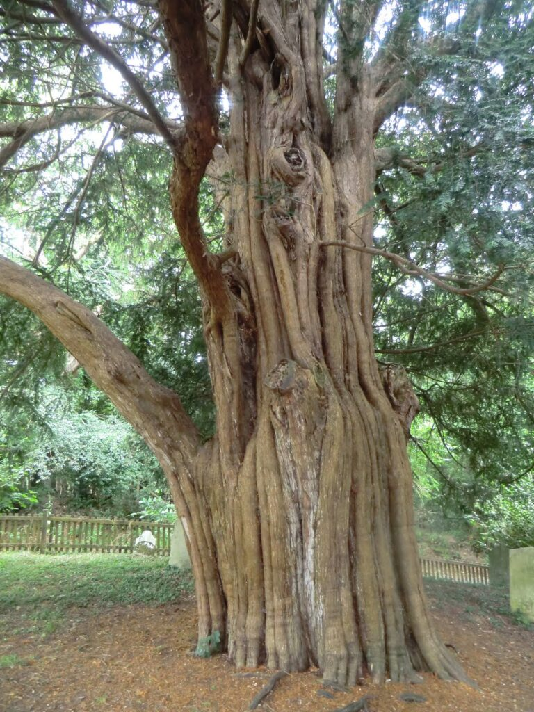 Oldest yew tree in the New Forest